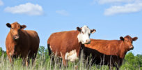 'Activists are working hard to take the farm animal out of the food equation': Farmers push back on plant- and lab-grown meat movement