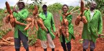 Kenya greenlights disease-resistant genetically modified cassava