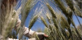 A human protein genetically engineered into wheat plants increases yields by 50%. Is this dramatic tweak replicable?