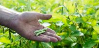 EU approves 10 GMO crops — corn, soybean, oilseed rape and cotton — for use as food and feed