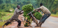 A parasite is targeting bananas crops around the world — but African scientists are using CRISPR to stop it