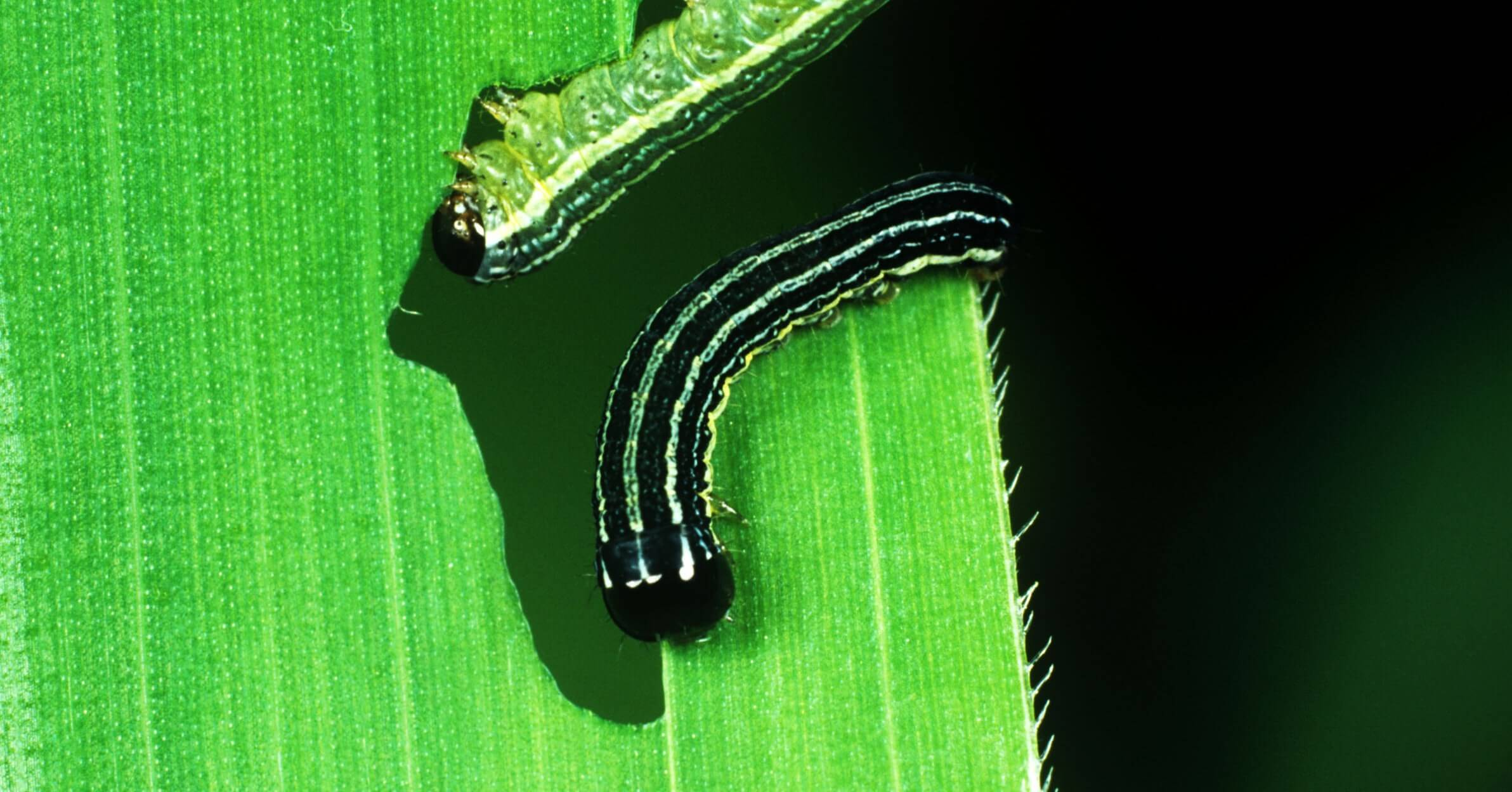 Gene drives to control plant pests show promise but technological and public acceptance hurdles loom