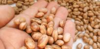 The story behind the 100% public GM bean reaching Brazilian plates