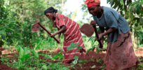 Uganda's costly dithering on GMOs
