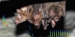 Baby talk: What we can learn from bats about how human moms and babies communicate