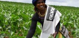 GM crops: Kenya and Nigeria progress as Uganda falters