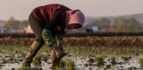 What's holding up biotech crop commercialization in China?