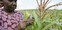 Kenya opens the door to GMO cultivation