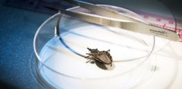 300,000 people in the US live with heart- and gut-destroying Chagas 'kissing bug' disease