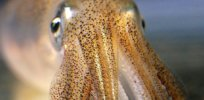 'Nature's gift to neuroscience': Squids have a lot to tell us about the mystery of the human brain