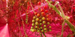 Will tomatoes be the next big commercial crop for vertical farms?
