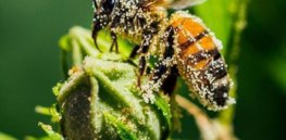 Synergistic effect of 'agricultural chemical cocktails' commonly used by farmers pose harm to pollinating insects