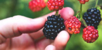 Seedless blackberries with a year-round growing season? Gene editing opens up new doors for radical improvements in the long-stagnant berry market
