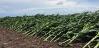 Wind-proof corn? New hybrid variety withstands 100 mile per hour winds, helping crops survive unpredictable and extreme weather