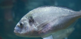 Japan poised to approve CRISPR gene edited sea bream fish that has 50% more muscle mass — and requires no extra food
