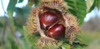 Just one gene could restore the American chestnut — a tree that reckless humans once all but destroyed