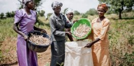 Ghana's first genetically modified crop – pod borer resistant cowpea — is poised to address widespread protein deficiency challenges