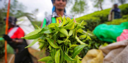Sri Lanka's plan to go 'all organic' and end use of synthetic chemicals leaves staple tea industry in 'complete disarray'