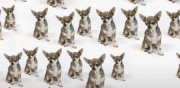 Video: The story of 'Miracle Millie', the chihuahua cloned 49 times — and how to (expensively) extend the life of your pet