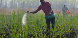 Viewpoint: Organic only experiment in Sri Lanka goes awry — 'The government would do well to listen to the country's agricultural scientists and not to quacks masquerading as experts'