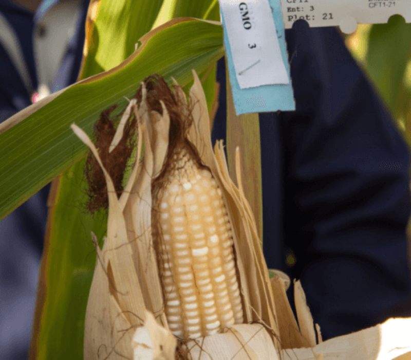 Drought-resistant corn, shown here being grown in Tanzania, will have a trial in Mozambique later this year