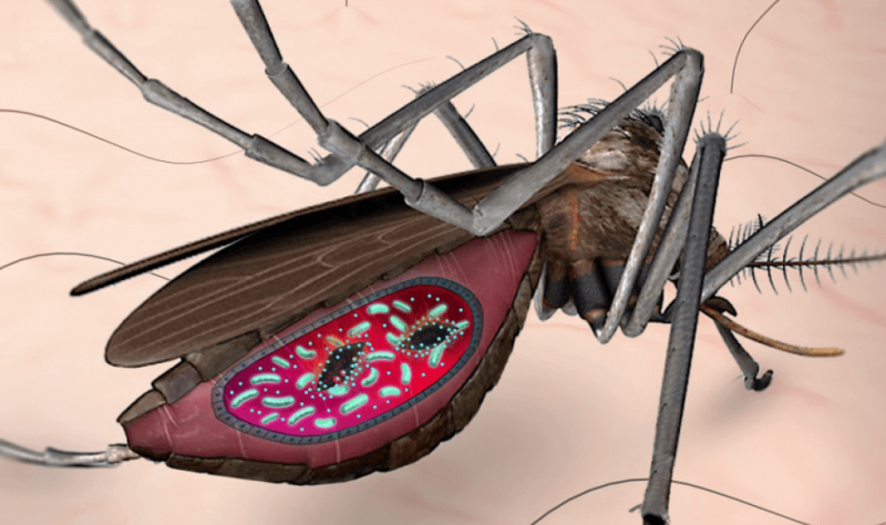 CAS malaria mosquito gut tuwr si sktnbzr zaww