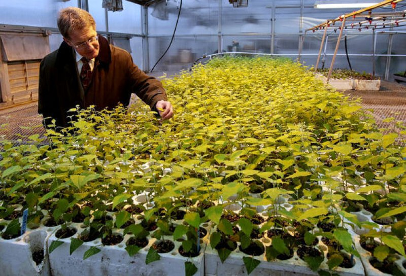 WSU biochemist Norman Lewis inspects cuttings from genetically engineered poplars in a Western Washington greenhouse (CREDIT: Greg Gilbert / The Seattle Times).