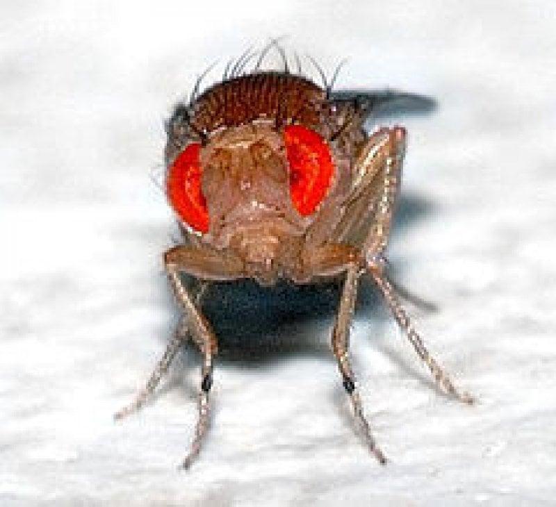 px Drosophila melanogaster front aka