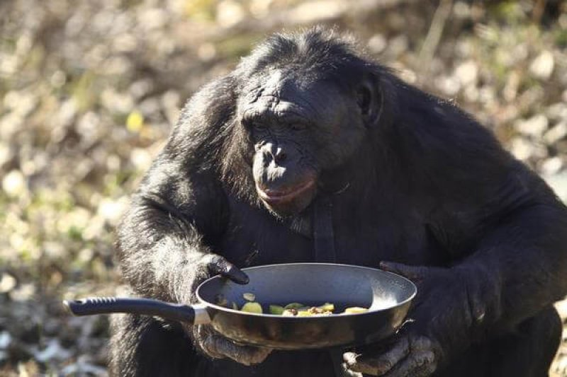 Kanzi the bonobo (a species closely related to chimps) holds a pan of vegetables he cooked at the Great Ape Trust in Des Moines, Iowa, November 2011. Kanzi was taught to cook. However, a study shows that animals can acquire a cooking-like skill on their own. Credit: Laurentiu Garofeanu/Barcroft Media.