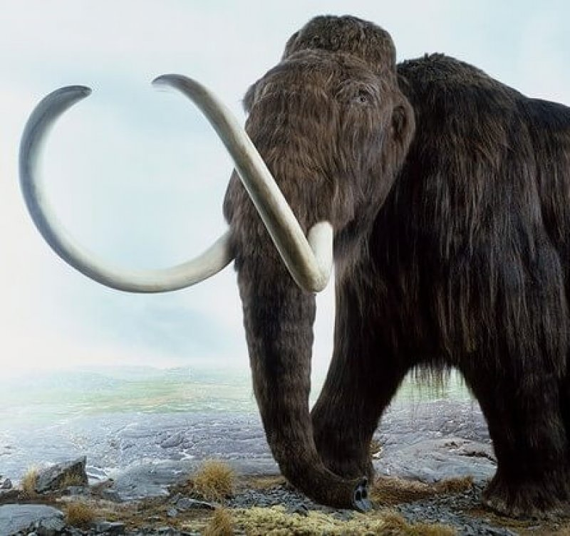 Woolly mammoth (Mammuthus primigenius), a model of an extinct Ice Age mammoth. Credit: Andrew Nelmerm/Getty Images/Dorling Kindersley.