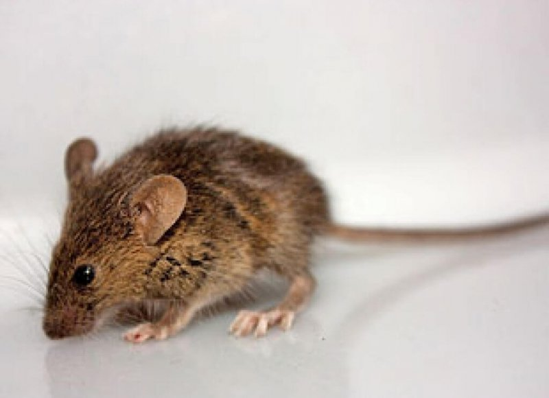The Mystery Of The Mutant Mice That Never Got Fat ubg tlcbmz xj gghzwg