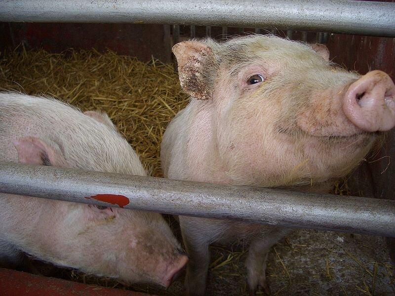 px pigs