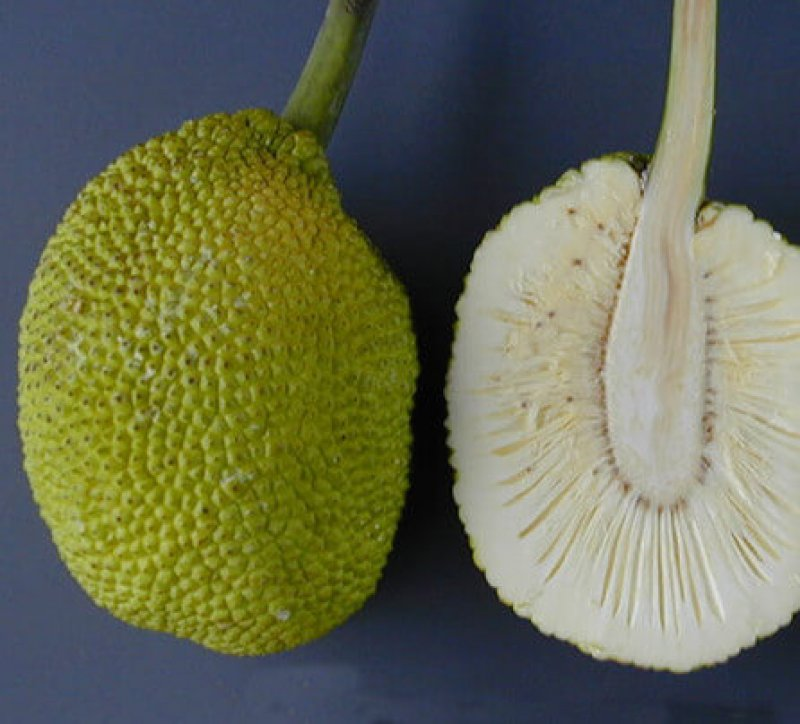 ARS breadfruit e