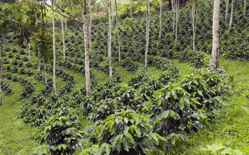 Advantages and disadvantages of agroforestry