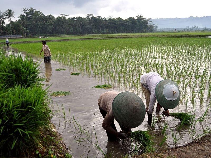 Bms rice planting rwg