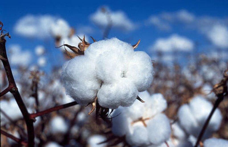 CSIRO ScienceImage Cotton boll