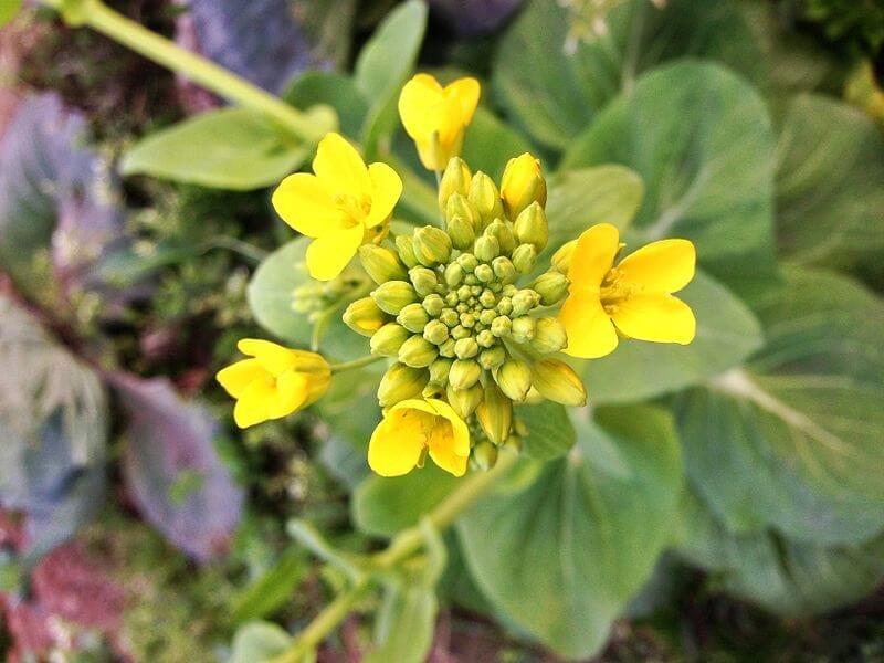 Canola Flower