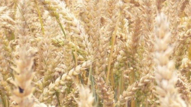 Celiac Disease Foundation plant geneticist challenge report linking GMOs to celiac disease gluten sensitivity strict xxl