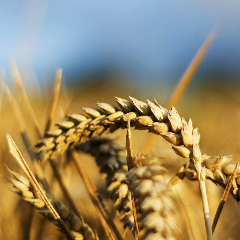 Copy of Wheat Medium e