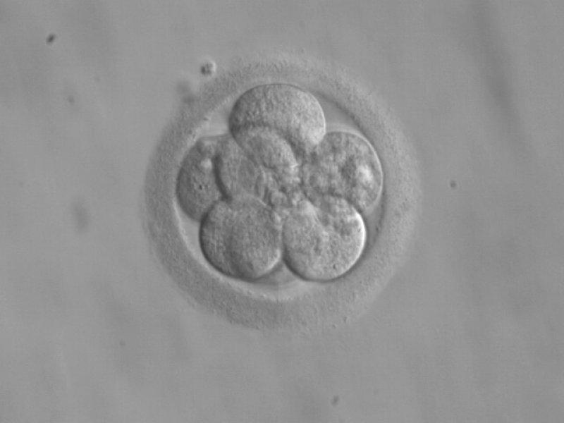 Embryo cells