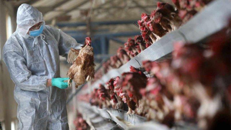 Veterinarian checks on chickens for symptoms of avian flu. Credit: Science