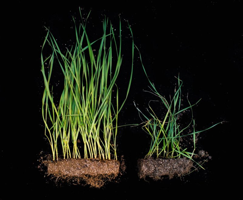 HessianFly wheat comparison KansasState web
