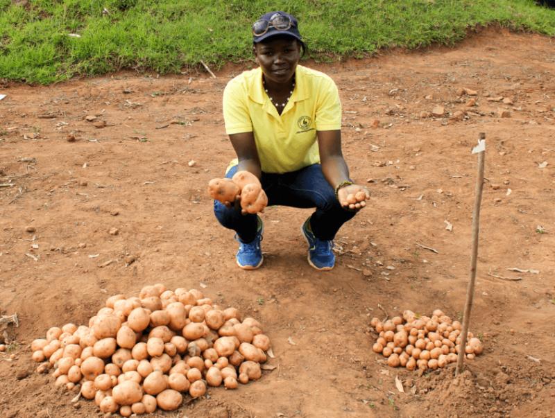 Late bligh resistant potato x e
