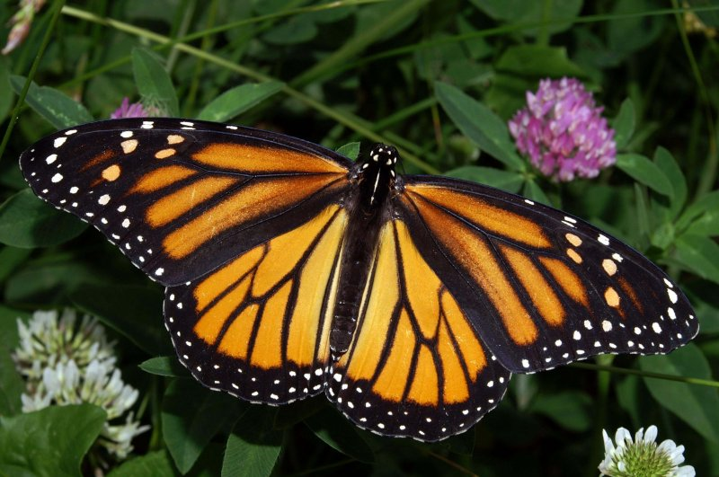 Monarch In May
