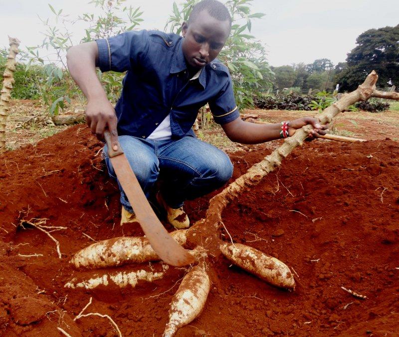 Nicksonn Muturi cassava