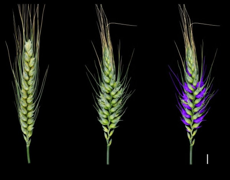 Paired spikelets in wheat Credit CSIRO WS