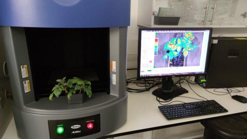 Potatoes showing stress via a fluorescent protein. Credit: Matanel Hipsch