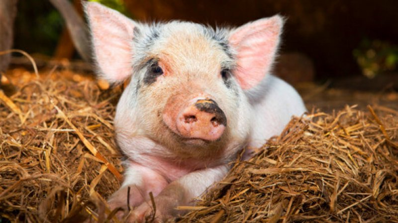 Pig growth gut health may see boost from protease supplements strict xxl