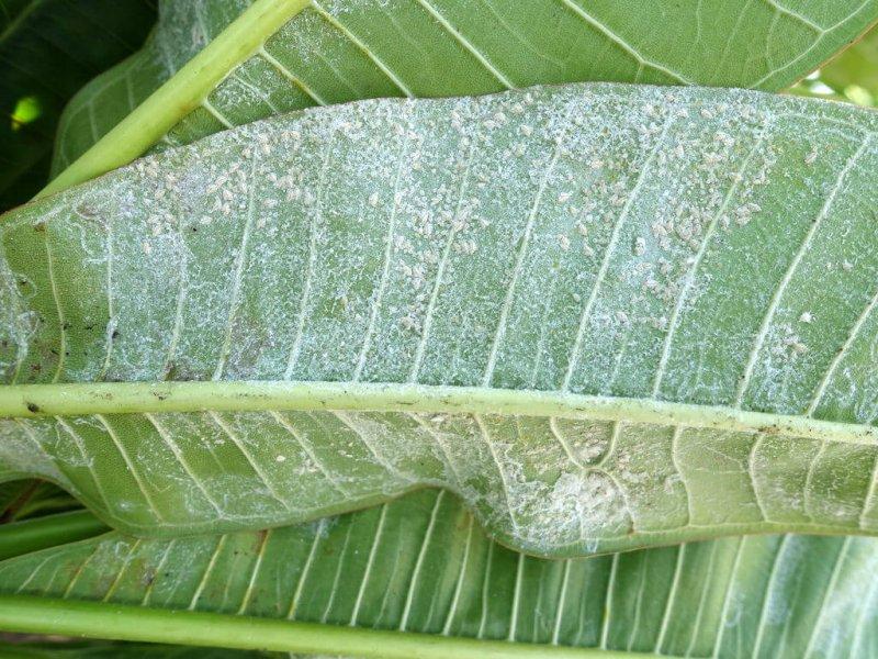 Plumeria Whiteflies