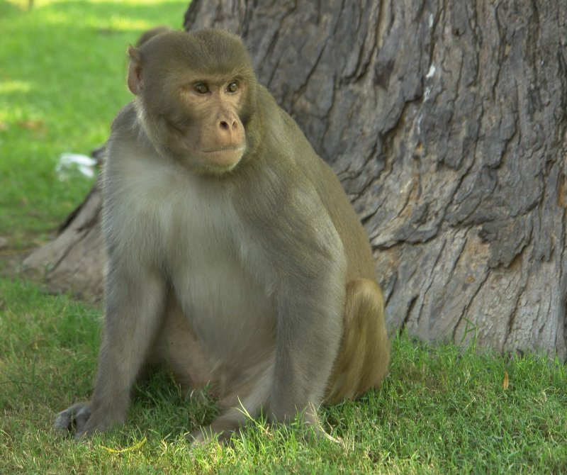 Rhesus Macaque Red Fort Agra